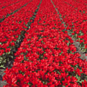 Red Tulip Fields Poster