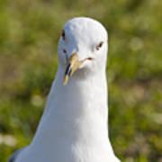 Ring Billed Gull Poster