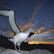 Salvins Albatross At Sunset Poster