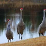 Sandhill Crane Family By Pond Poster