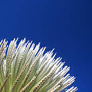 Silversword Plant Poster