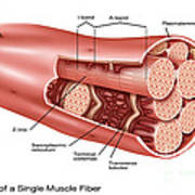 Single Muscle Fiber Structure Poster