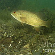 Smallmouth Bass Protecting Eggs Poster