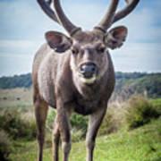 Sri Lankan Sambar Deer Male Poster