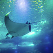 Underwater Manta Ray Poster