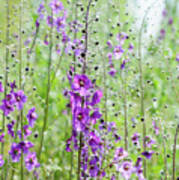 Verbascum Phoeniceum In The Meadow Poster