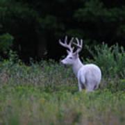 White Buck Poster