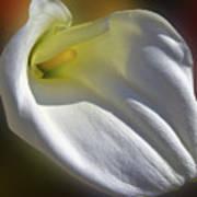 White Calla Poster