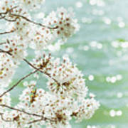 White Cherry Blossoms Trees Poster