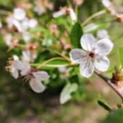 White Cherry Flower Poster