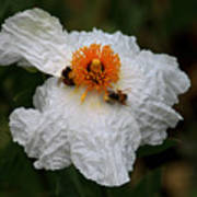 White Poppy And Bee Poster