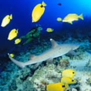 Whitetip Reef Shark Poster