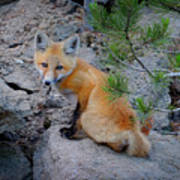 Wild Fox Near Den In Wilderness Animals Poster