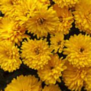 Yellow Chrysanthemums Poster