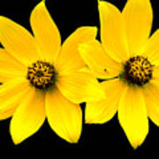 2 Yellow Daisies Poster