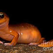Yellow-eye Ensatina Salamander Poster