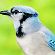 Blue Jay, Animal Portrait Poster