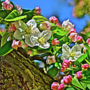 2016 Early May King Arthur Crabapple Poster
