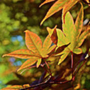 2016 Japanese Maple In The Sunlight Poster