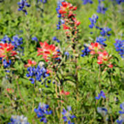 201703300-068 Indian Paintbrush Blossom 2x3 Poster