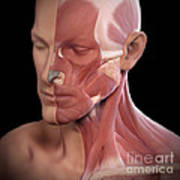 Facial Muscles Poster