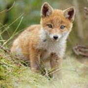 Red Fox Cub Poster
