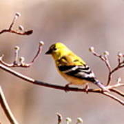 2164 - Goldfinch Poster