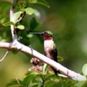 2274 - Hummingbird Poster