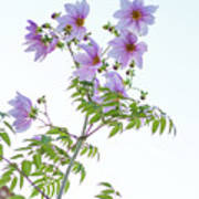Fully Bloomed Pink Dahlia Imperialis At Garden In November Poster