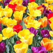 Amsterdam Tulips. Poster