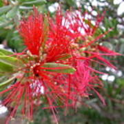 Australia - Red Flower Of The Callistemon Poster