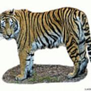 Asian Tiger Poster