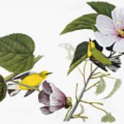 Audubon Warbler Poster