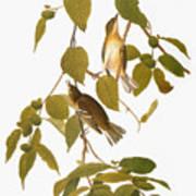 Audubon: Warbler Poster