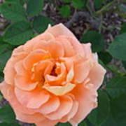 Australia - Orange Rose Flower Poster