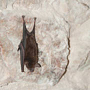Bats Inside The Pyramid At Grupo Nohoch Mul At The Coba Ruins  Poster