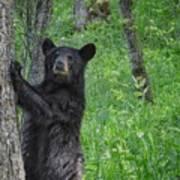 Black Bear Yearling Poster
