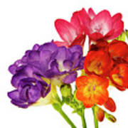 Colorful Freesias Poster