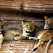 3 Cubs Poster