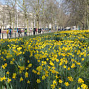Daffodils In St James Park London Poster