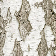 Detail Of Brich Bark Texture Poster