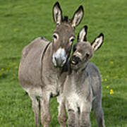 Donkey Mother And Young Poster