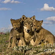 Gray Wolf And Cubs Poster