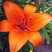 Hemerocallis Flower Poster