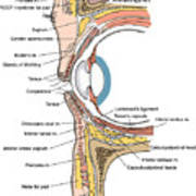 Illustration Of Eye Anatomy Poster by Science Source