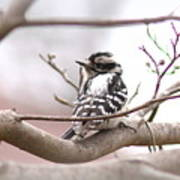 Img_0001 - Downy Woodpecker Poster