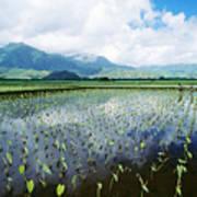 Kauai, Wet Taro Farm Poster