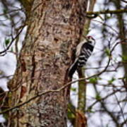 Lesser Spotted Woodpecker Poster
