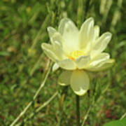 Lotus Flower In Bloom  Poster