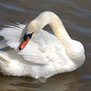 Mute Swan Grooming In Shallow Water Poster